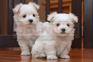 Amazing Maltese Puppies for sale Call/Whatsapp 0528074673