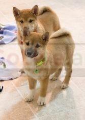 Shiba Inu puppies for sale call/WhatsApp = +971557494855