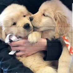 Golden retriever puppies For rehoming call/WhatsApp = +971557494855