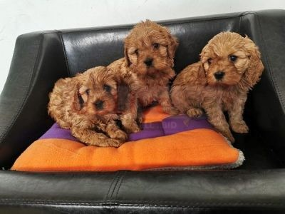 Carvapoo puppies for sale call/WhatsApp = +971557494855