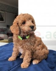 Toy Poodle for Rehoming call/WhatsApp = +971557494855