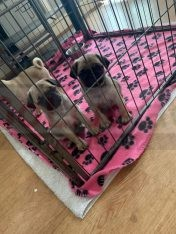pug puppies for Rehoming call/WhatsApp = +971557494855