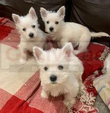 West Highland White Puppies