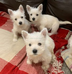 West Highland White Puppies
