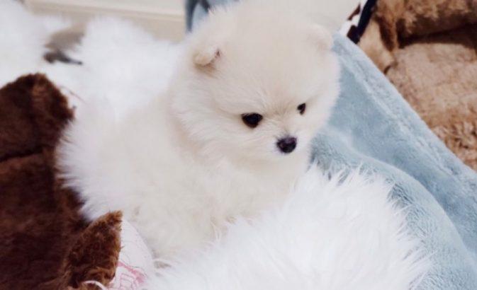 Cute Pomerania male and female Puppies