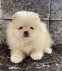 Pomerania Puppies for adoption