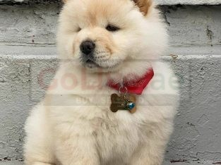 Trained Chow chow Puppies for sale/whatsapp to 056 571 0348