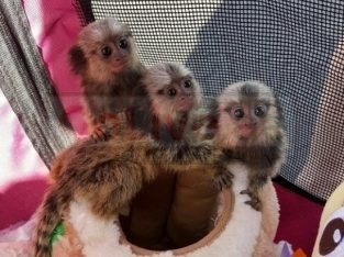 Male and female Marmoset Monkeys for Sale