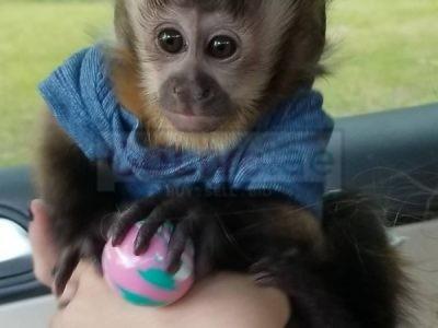 Top Class Capuchin Monkeys for sale / send a whatsapp text to 056 571 0348