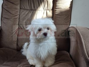 Cute white maltese puppies available