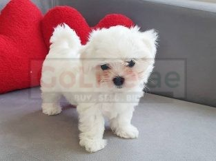 Cute Maltese Puppies for sale/whatsapp to 056 571 0348