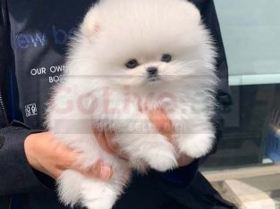 Teacup Pomeranian Puppies for sale/whatsapp to 056 571 0348