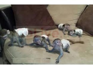 Our baby Capuchin monkeys are just 2 left